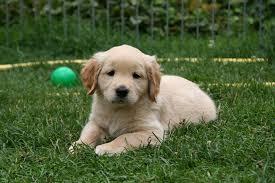 Vanaf hoeveel weken puppycursus nemen?